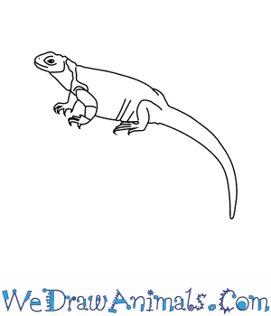 How to Draw a Chuckwalla in 6 Easy Steps