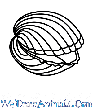 How to Draw a Cockle in 7 Easy Steps