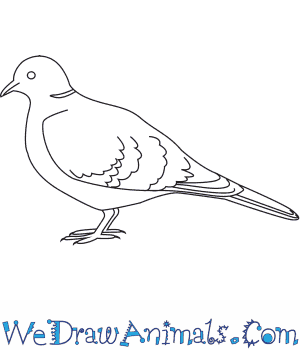How to Draw a Collared Dove in 6 Easy Steps