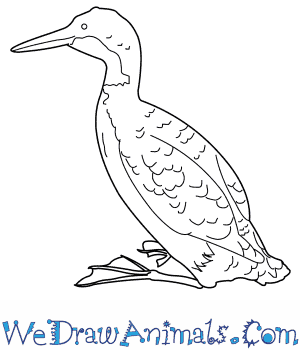 How to Draw a Common Loon in 8 Easy Steps