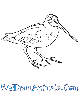 How to Draw a Common Snipe in 8 Easy Steps
