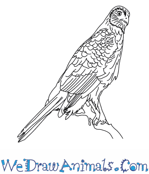 How to Draw a Coopers Hawk in 9 Easy Steps