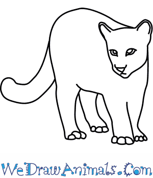 How to Draw a Cougar in 8 Easy Steps