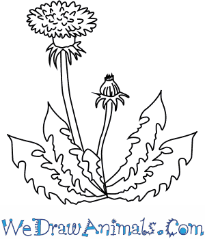How to Draw a Dandelion Flower in 4 Easy Steps