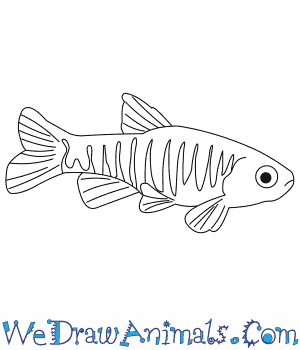 How to Draw a Danio in 7 Easy Steps