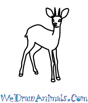 How to Draw a Duiker in 7 Easy Steps