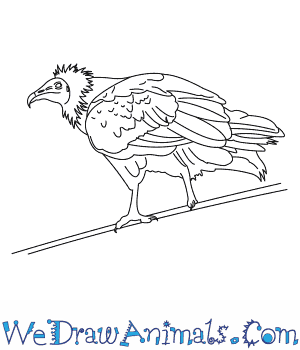 How to Draw an Egyptian Vulture in 6 Easy Steps