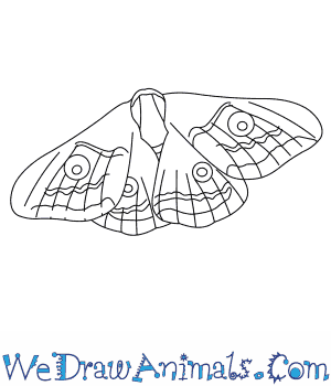 How to Draw an Emperor Moth in 4 Easy Steps