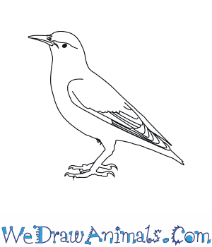 How to Draw a European Starling in 6 Easy Steps