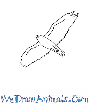 how to draw a ferruginous hawk