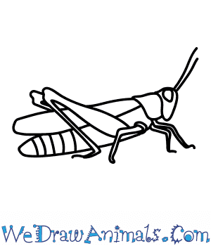 How to Draw a Field Grasshopper in 7 Easy Steps