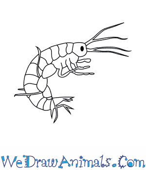 How to Draw a Freshwater Shrimp in 6 Easy Steps