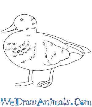 How to Draw a Gadwall in 8 Easy Steps