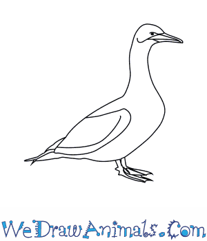 How to Draw a Gannet in 6 Easy Steps