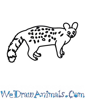 How to Draw a Genet in 7 Easy Steps