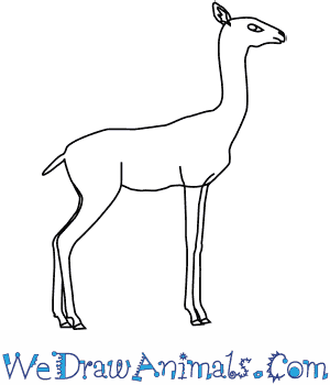 How to Draw a Gerenuk in 6 Easy Steps