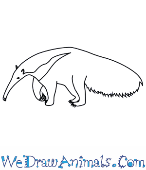 How to Draw a Giant Anteater in 8 Easy Steps