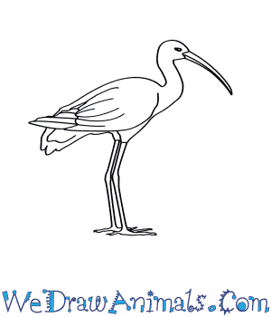 How to Draw a Glossy Ibis in 7 Easy Steps