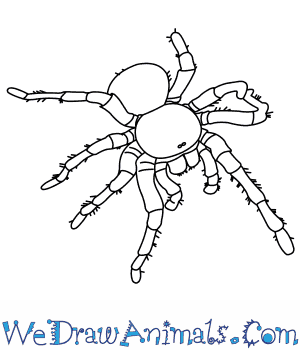 How to Draw a Goliath Bird Eating Spider in 8 Easy Steps