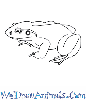 How to Draw a Goliath Frog in 6 Easy Steps
