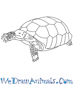 How to Draw a Gopher Tortoise in 7 Easy Steps