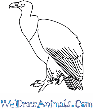 How to Draw a Griffon Vulture in 6 Easy Steps