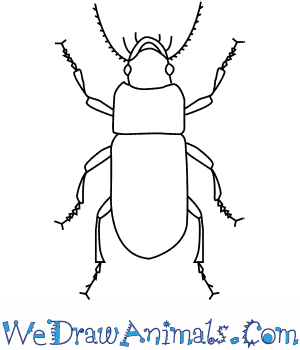 How to Draw a Ground Beetle in 6 Easy Steps