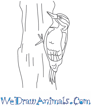 How to Draw a Hairy Woodpecker in 8 Easy Steps