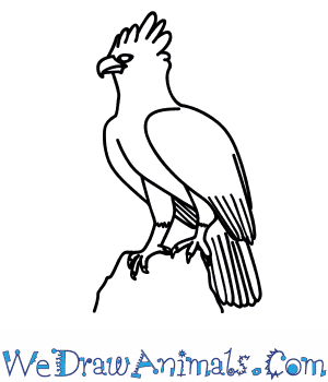 How to Draw a Harpy Eagle in 9 Easy Steps