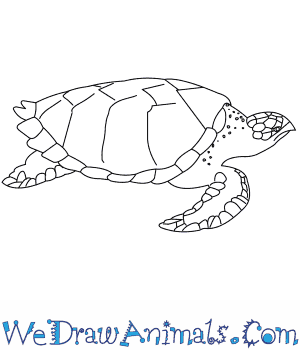 How to Draw a Hawksbill Turtle in 7 Easy Steps