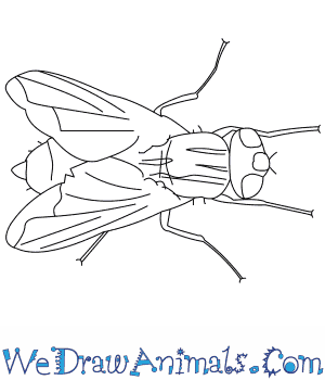 How to Draw a House Fly in 7 Easy Steps