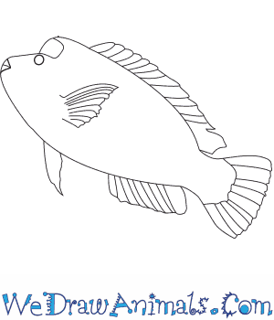 How to Draw a Humphead Parrotfish in 5 Easy Steps