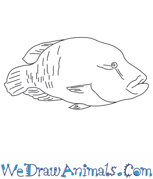 How to Draw a Humphead Wrasse in 6 Easy Steps