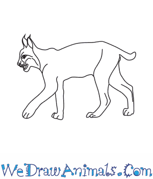How to Draw an Iberian Lynx in 6 Easy Steps