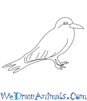 How to Draw an Inca Tern in 6 Easy Steps