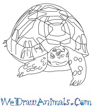 How to Draw an Indian Star Tortoise in 6 Easy Steps