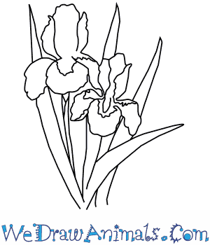 How to Draw an Iris Flower in 4 Easy Steps
