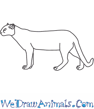 How to Draw a Jaguarundi in 6 Easy Steps