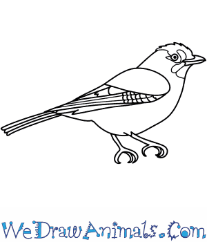 How to Draw a Jay in 9 Easy Steps