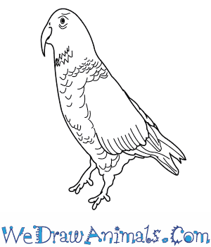 How to Draw a Kea in 8 Easy Steps