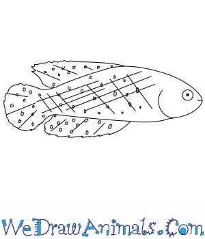 How to Draw a Killifish in 7 Easy Steps