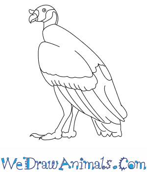 How to Draw a King Vulture in 7 Easy Steps