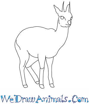 How to Draw a Klipspringer in 8 Easy Steps