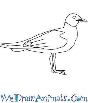 How to Draw a Laughing Gull in 6 Easy Steps