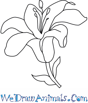 How To Draw A Lily Flower on www diagram