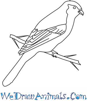 How to Draw a Loggerhead Shrike in 7 Easy Steps