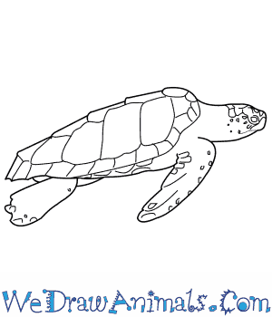 How to Draw a Loggerhead Turtle in 7 Easy Steps