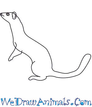 How to Draw a Long Tailed Weasel in 6 Easy Steps
