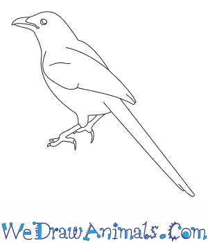 How to Draw a Magpie in 8 Easy Steps