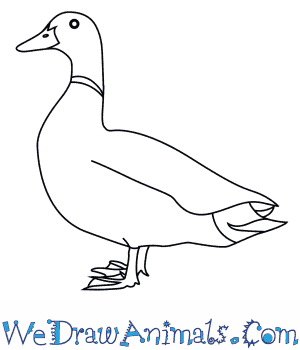How to Draw a Mallard in 7 Easy Steps